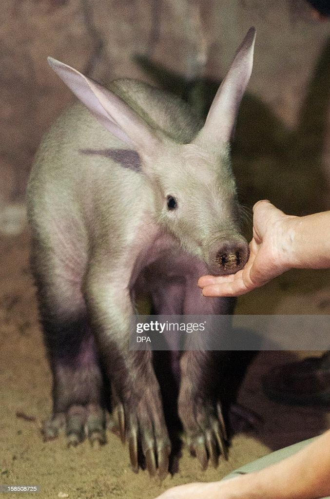 The keeper touches the yet unnamed male aardvark on December 18, 2012 during a press conference at Berlin Zoo. The keeper bottle feeds the animal. AFP PHOTO / Laurin Schmid /GERMANY OUT