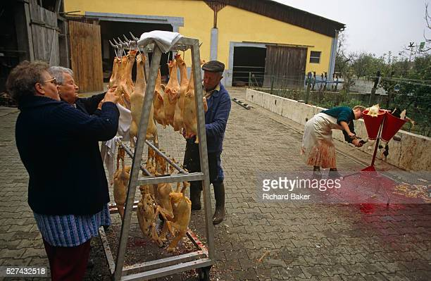 The Kessler family live on a farm in the quiet village of Boofzheim in Alsace France Their business is producing Foie Gras and they raise forcefed...
