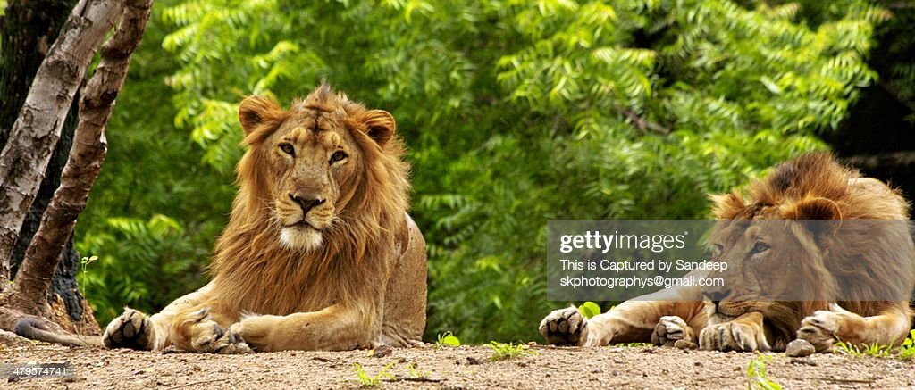 The KING Asiatic Lions