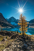 Noon sun adorning one of the Larch trees around Lake McArthur located at the Lake O'hara region, Yoho National park, BC, Canada