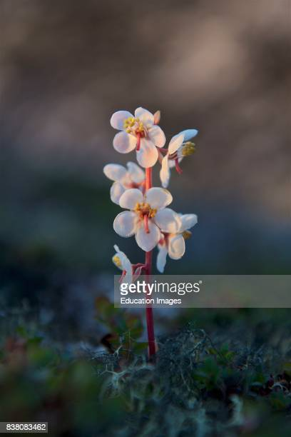 The Largeflowered Wintergreen in evening light Grows on rocks and dry soil in Greenland from Julyaugust Photographed at Sermermiut in Western...