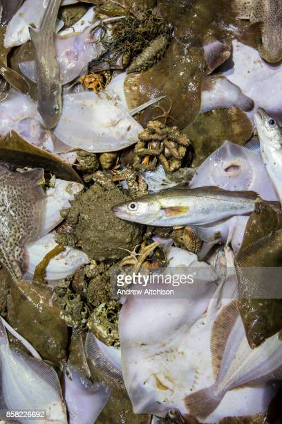 The last catch of the evening Dover soul Plaice Dog fish Smoothhound Bull Huss Whiting spider crabs hermit crabs skate emptied from the net onto the...
