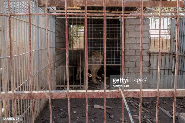 MOSUL IRAQ FEBRUARY 2 The last lion alive in Muntazr al Noor Zoo in east Mosul Iraq on February 2 2017 The zoo's owner was badly beaten by Islamic...