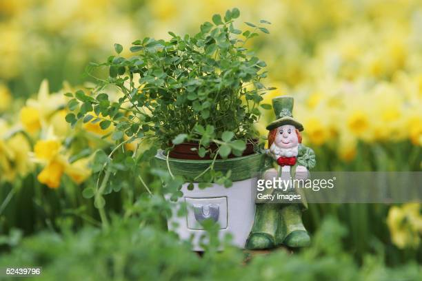 The last pot of shamrocks is seen at Cecil Geddis nursey on March 17 2005 Warringston Lurgan Northern Ireland The term 'shamrock' derives from the...