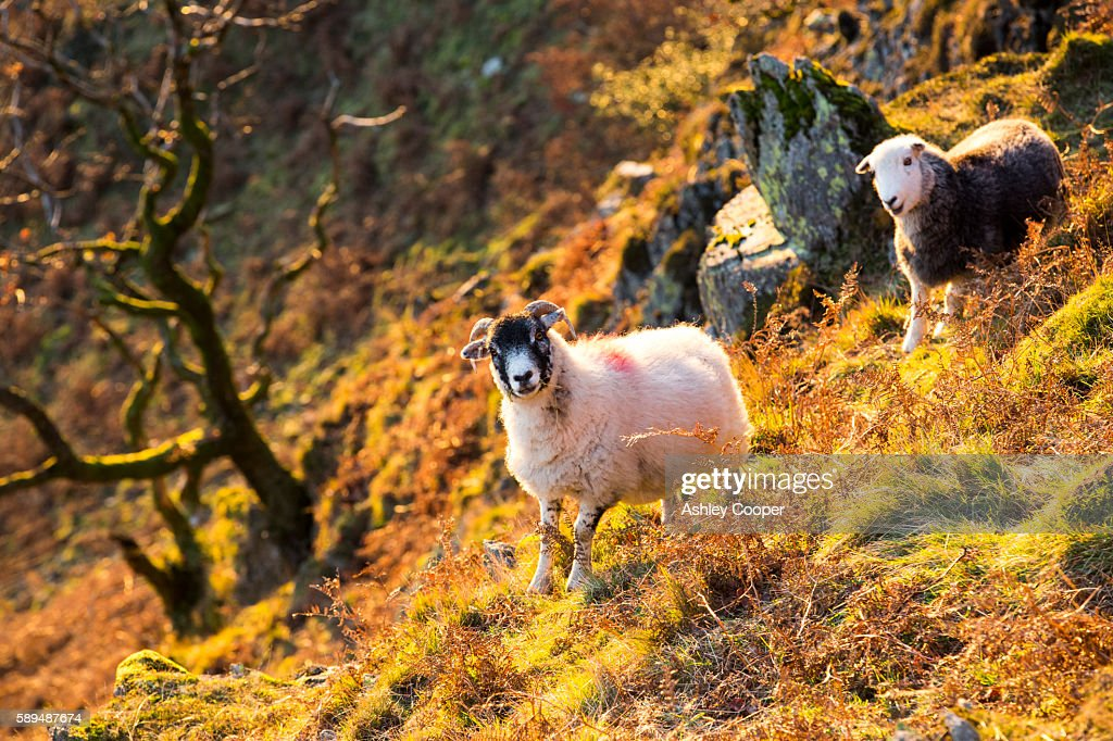 The last rays of evening light catching sheep on Nab Scar above Rydal, Lake District, UK.