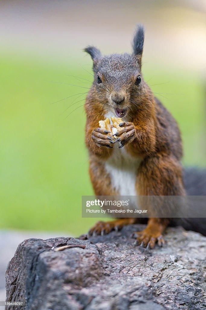 The last squirrel!... : Stock Photo