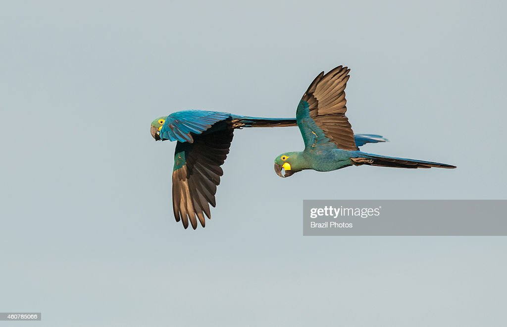 The Lear's Macaw also known as the Indigo Macaw a large allblue Brazilian parrot currently listed as an endangered species at Caatinga ecosystem...