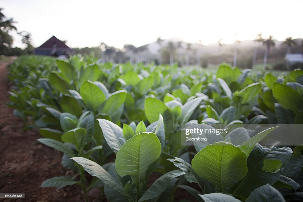 The leaves of tobacco plants grow on a plantation near Pinar del Rio, Cuba, on Sunday, Jan. 13, 2013. In a country where the average monthly salary is $19, according to Cuba's statistics agency, even buying an airplane ticket will be beyond the reach of most of the island's 11 million residents as President Raul Castro begins easing travel rules on the communist island. Photographer: Andrey Rudakov/Bloomberg via Getty Images
