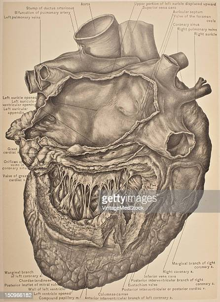 The left auricle thicker than the right helps to form the left side and back of the base of the heart only its auricular appendix being visible...
