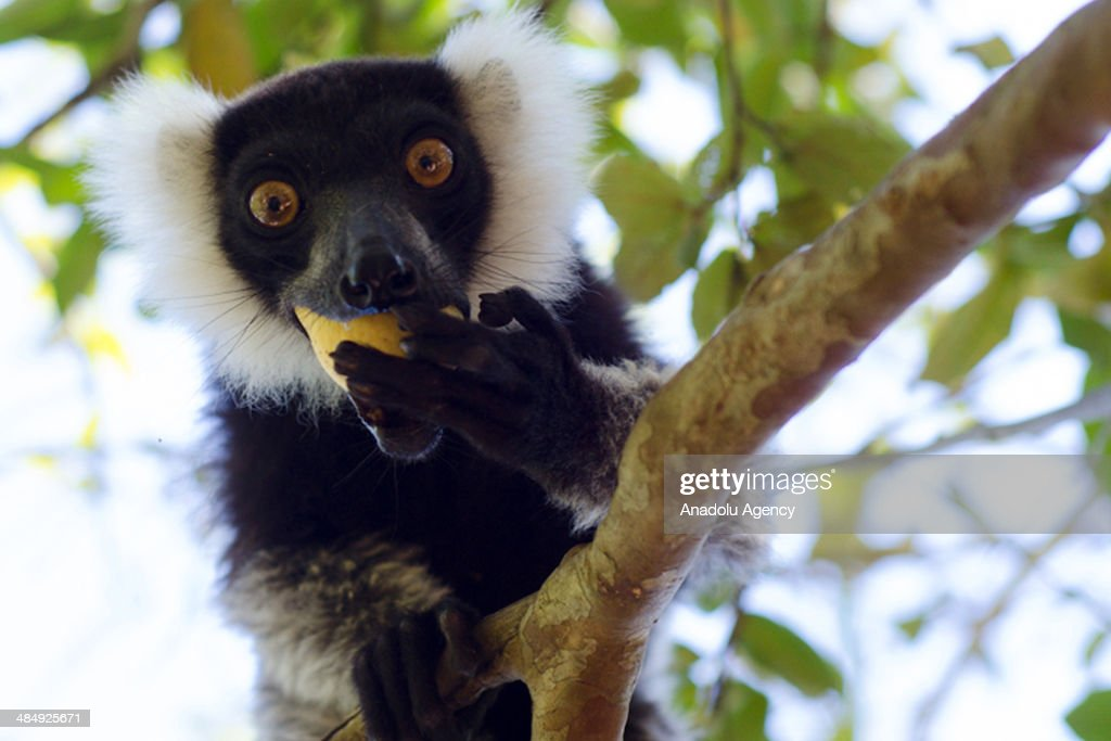 The lemur (Lemur catta) is one of 101 recognized species and subspecies of lemur found only in Madagascar on April 15, 2014. Lemurs, which can only be found in the Madagascar, are headed for extinction because of that a festival will be held to draw attention for the endangered animal, lemur in madagascar.