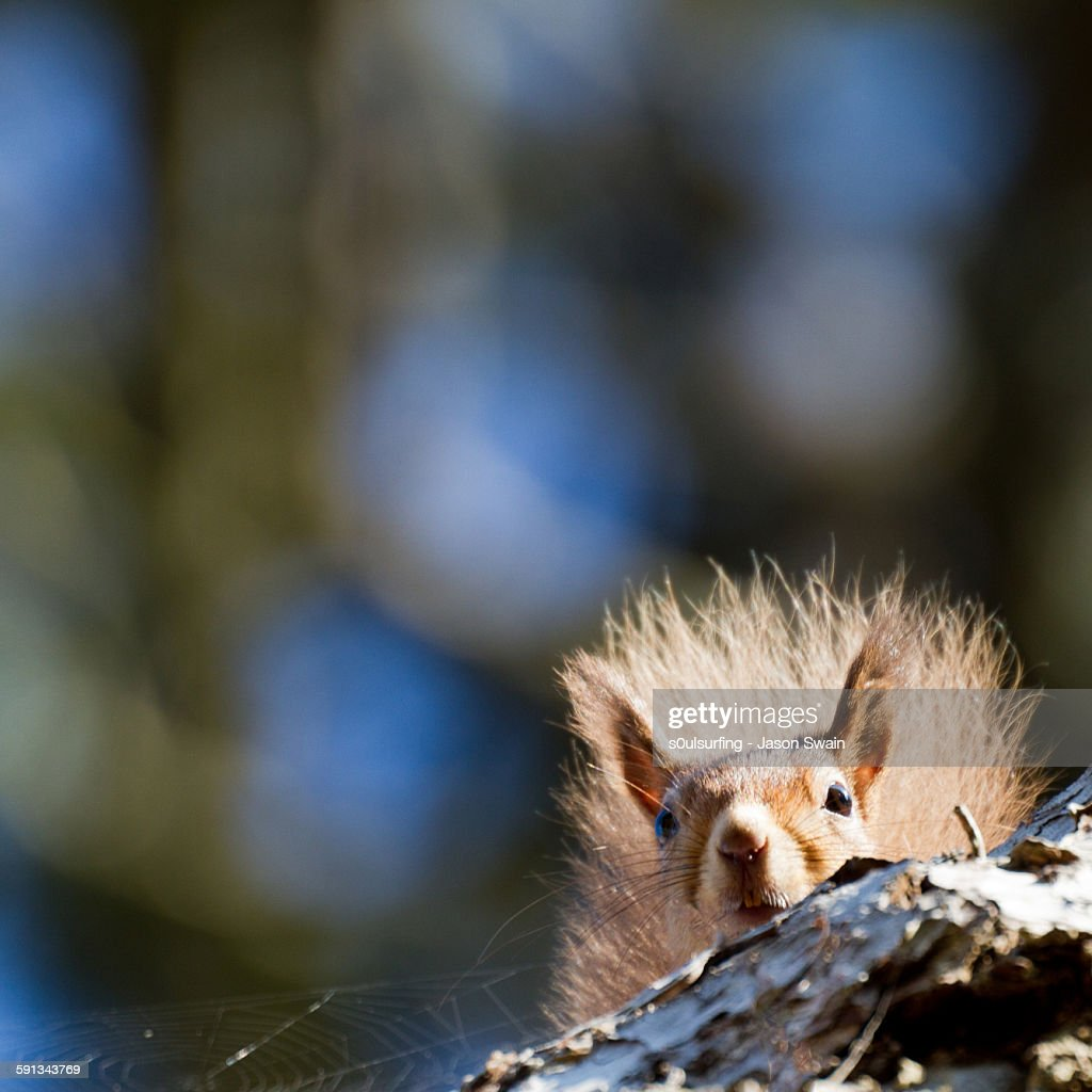 The Lesser Spotted 'Peeking Red Squirrel'
