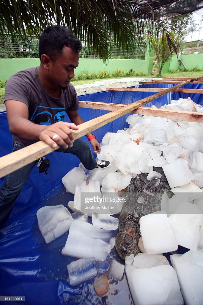 The lifeless body of Lolong, the largest crocodile in captivity, is packed in ice at the conservation park on February 11, 2013 in Bunawan, Philippines. The 6.17 metre (20.24 feet) tetrapod fell ill and died on Sunday night. An autopsy is expected to be completed today.
