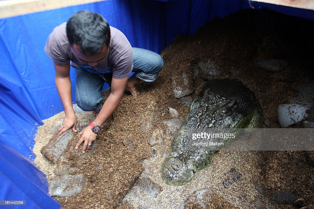 The lifeless body of Lolong, the largest crocodile in captivity, rests at the conservation park on February 11, 2013 in Bunawan, Philippines. The 6.17 metre (20.24 feet) tetrapod fell ill and died on Sunday night. An autopsy is expected to be completed today.