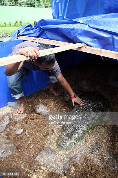 The lifeless body of Lolong the largest crocodile in captivity rests at the conservation park on February 11 2013 in Bunawan Philippines The 617...