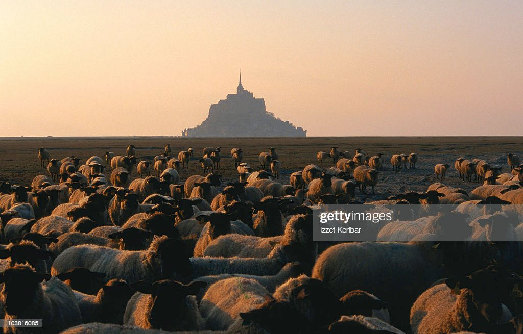 The light of dawn dances across the backs of black-faced sheep in a field, with Mont Saint Michel behind them - Normandy : Stock Photo