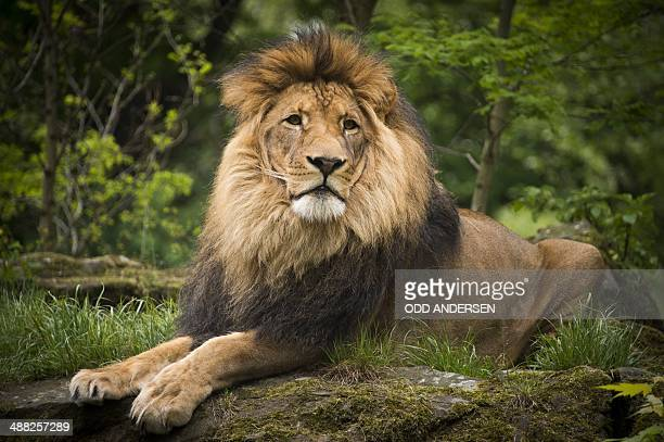 The lion 'Aru' is seen in its enclosure a the zoo in Berlin on May 4 2014 AFP PHOTO / ODD ANDERSEN