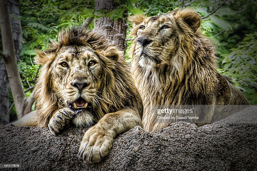 The Lion King : Stock Photo