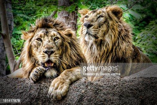 The Lion King : Foto de stock