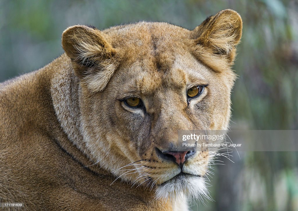 The lioness is still not amused! : Stock Photo