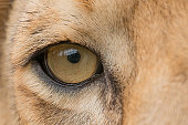 The Lion's Eye