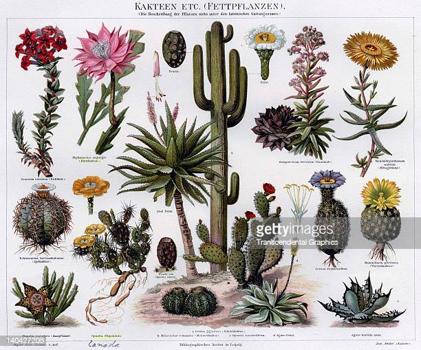 The lithographic plate printed for Meyers KonversationsLexikon of Desert Plants was issued in Leipzig Germany in 1890