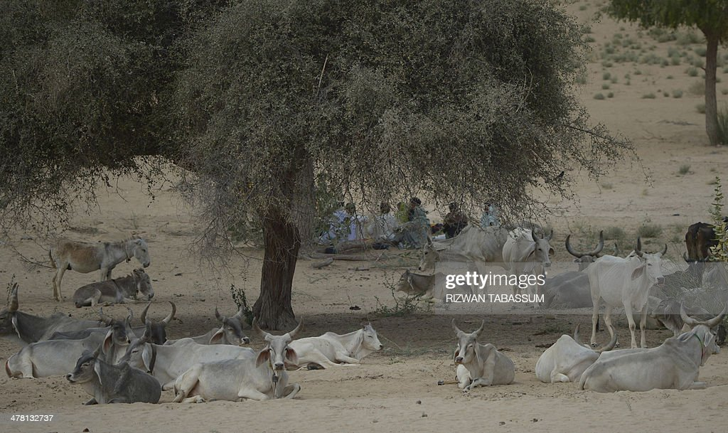 The livestock of Pakistani drought-affected villagers are pictured in the outskirts of Mithi, the main town in the Tharparkar district in southern Sindh province around 300 kilometres east of Karachi on March 12, 2014. The region Thar desert which runs up to the border with India, is dominated by subsistence farmers who depend on beans, wheat, and sesame seeds for survival, bartering surplus in exchange for livestock where at least 67 children had died due to malnutrition and other diseases in the area since December. AFP PHOTO/Rizwan TABASSUM