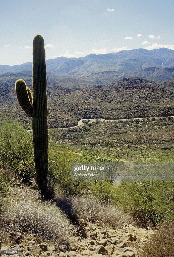 The lone saguaro : Foto de stock