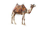 The lonely domestic camel isolated on white