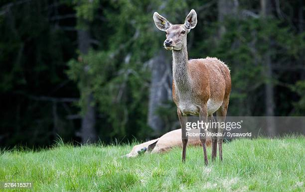 The look of the deer Alps Italy