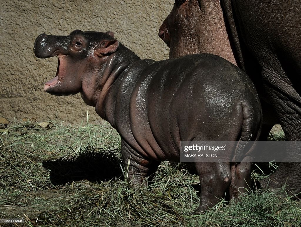 The Los Angeles Zoos female Hippopotamus named Mara stands beside her newborn calf (nameless at the moment) in their compound at the zoo in Los Angeles, California on November 4, 2014. Mara went into labor on October 31 and gave birth to the healthy calf two and a half hours later. AFP PHOTO/Mark RALSTON