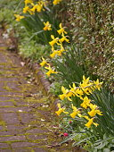 The Lovely Yellow Daffodil Flowers In Aldridge, England