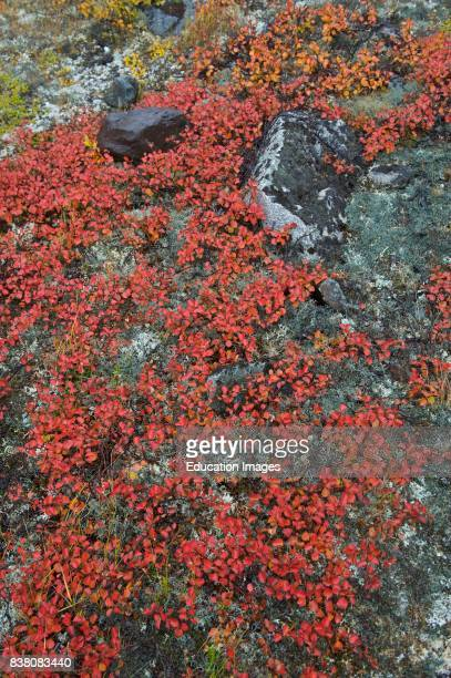The low tundra vegetation is the common vegetation in the arctic Arctic plants have a compressed growing season they initiate growth rapidly in the...