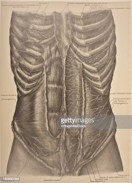 The lower intercostal nerves supply the Intercostales and abdominal muscles the last three send branches to the Serratus posterior inferior 1903 From...