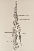 The lumbricales are four slender fleshy muscles which are accessory to the deep flexor tendons and connect these with the tendons of the extensor...