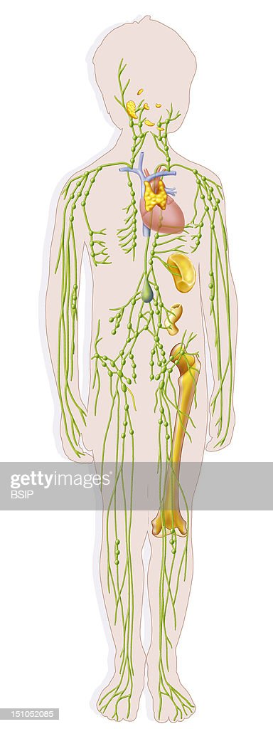 The Lymphatic System In A 10 Year Old Child Are Represented The Vessels And The Lymphatic Ganglions The Pharyngeal Tonsils Named Adenoid Vegetations...