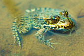 The macro or closeup portrait of  green, yellow and brown frog or toad sitting in the pound among the algaes
