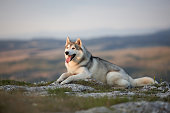 The magnificent gray Siberian Husky lies on a rock in the Crimean mountains against the backdrop of the forest and mountains. A dog on a natural background.