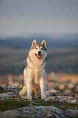 The magnificent gray Siberian husky sits on a rock in the Crimean mountains against the backdrop of the forest and mountains. A dog on a natural background.