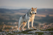 The magnificent gray Siberian husky stands on a rock in the Crimean mountains against the backdrop of forests and mountains and makes faces. A dog on a natural background.