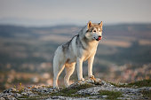 The magnificent gray Siberian husky stands on a rock in the Crimean mountains against the backdrop of the forest and mountains. A dog on a natural background.