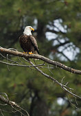 A large bald eagle is perched on a branch by Coeur d'Alene, Idaho.