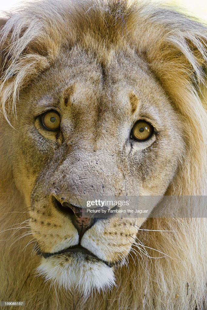 The male lion looking brave : Stock Photo