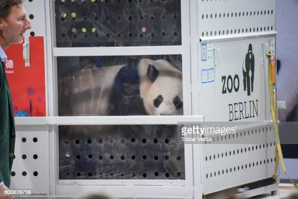 The male Panda Jiao Qing arrives at airport Berlin Tegel on June 24 2017 in Berlin Germany