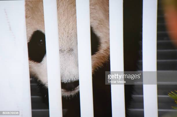 The male Panda Jiao Quing arrives at airport berlin Tegel on June 24 2017 in Berlin Germany