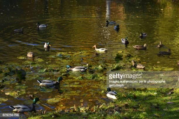 The mallard ducks in middle aquatic plants