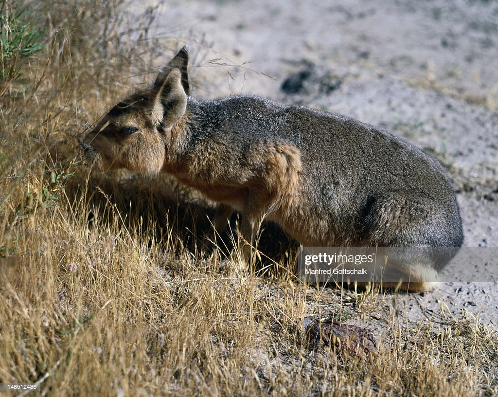 The 'Mara' (Dolichitis patagonica) is regarded as the native kind of rabbit, but is related to the guinea pig.