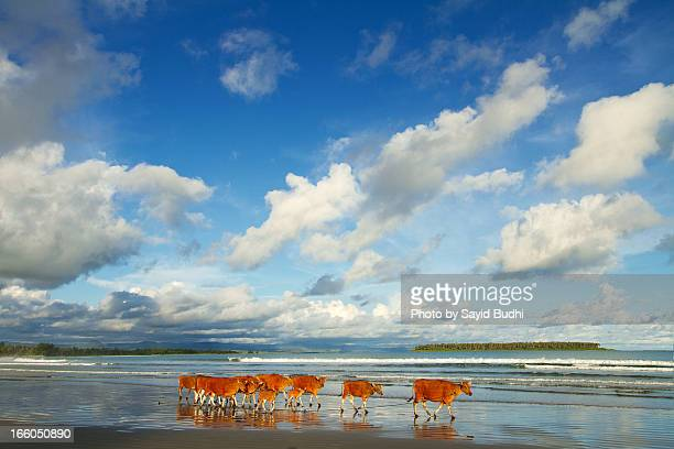 The Marching Cows on Beach