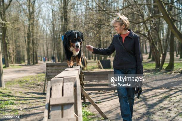 the mature attractive woman, dog trainer, teaching the Bernese Mountain Dog to walk on the beam.
