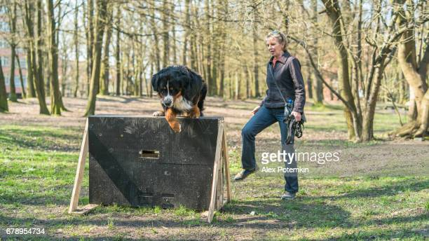 The mature attractive woman teaching the Bernese Mountain Dog to jump over the barrier