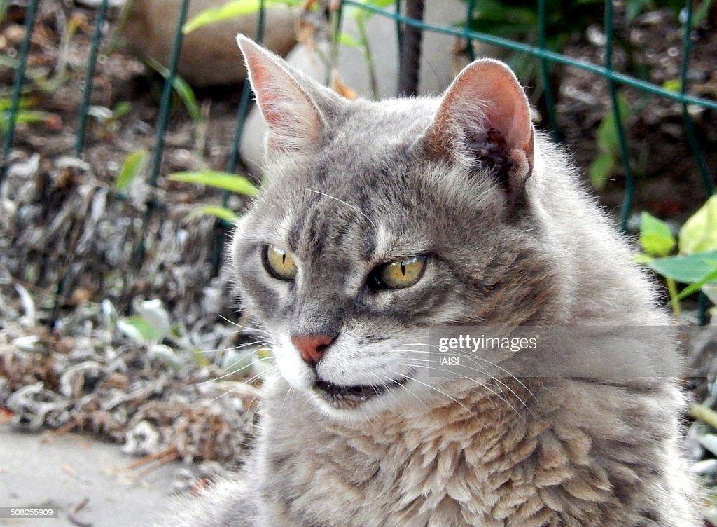 The Mau cat watching